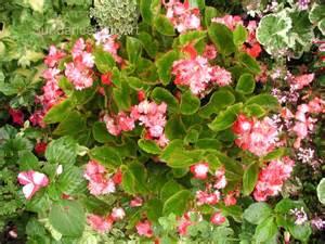 american begonia society semperflorens begonias