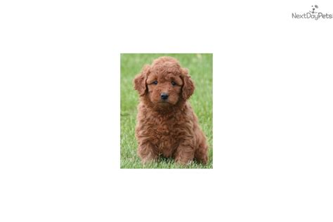 goldendoodle puppy oklahoma samson goldendoodle puppy for sale near tulsa oklahoma