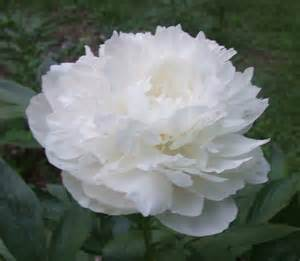White Peony Flower - white peonies images amp pictures becuo