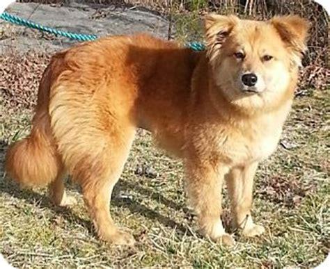 golden retriever puppies washington dc adopted puppy washington dc golden retriever chow chow mix