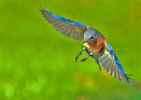 bluebird in flight pentax user photo gallery
