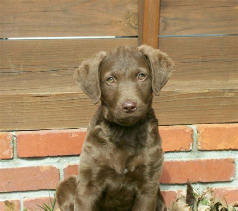 chesapeake bay retriever puppies for sale nc brushwaters chesapeakes chesapeake bay retriever puppies invitations ideas