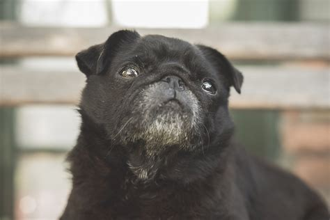 average pug lifespan the a to z of pugs the pug diary