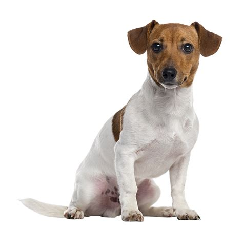 best age to get a puppy terrier