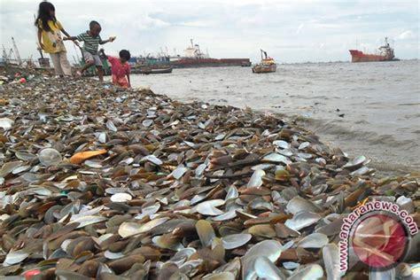 Kulit Kerang Laut limbah kerang ijo foto antara news