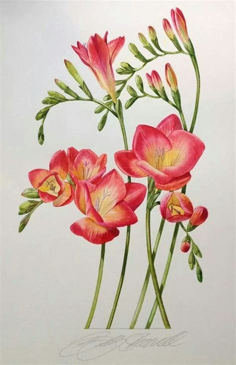 billy showells botanical painting billy showell http www com katbarine botanical beauty freesias my favorite