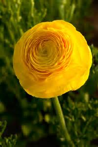Buttercup Flower Pictures - springtime means ranunculus time mellano amp company