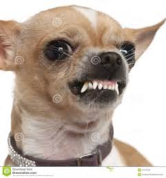 up of angry chihuahua growling 2 years royalty