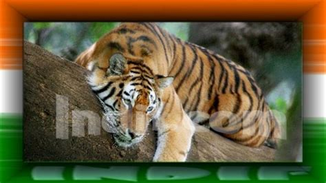 Essay On Tigers In India by Essay On Tiger In Language Studyclix Web Fc2