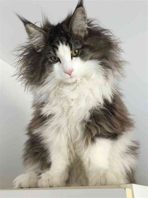 Types Of Haired Cats by Image Gallery Haired Cat