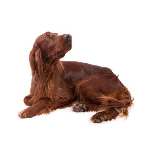 cani da appartamento adatti ai bambini migliori cani adatti ai bambini