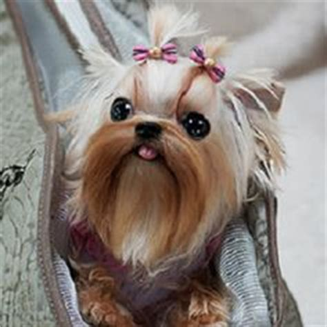 betty s teacup yorkies dogs i yorkies on yorkie terrier and dogs