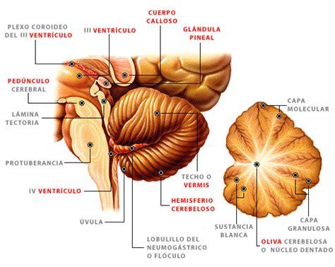 imagenes neuroanatomia pdf biolog 237 a emt deporte
