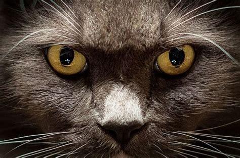 imágenes artísticas de gatos 191 c 243 mo ven los gatos siete misterios que debes conocer