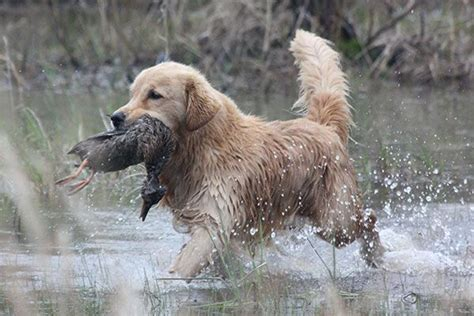 golden retrievers to hunt golden retriever 001 breeds