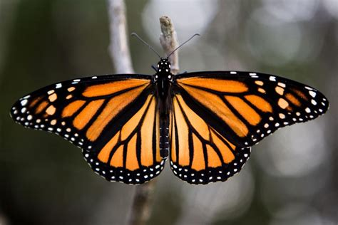the monarch of the monarch butterfly boosters hope more milkweed can keep numbers growing local journalstar com
