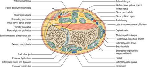 cross section of wrist wrist cross section 28 images cross section of the