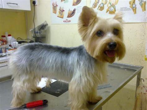 yorkie haircuts for a silky coat silky terrier short haircut wish list pinterest