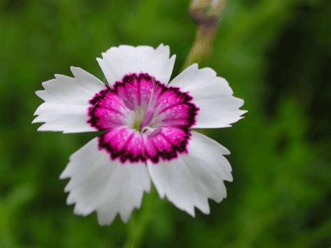 blumen im garten pflanzen nelken im garten pflanzen arten blumen tipps actof info
