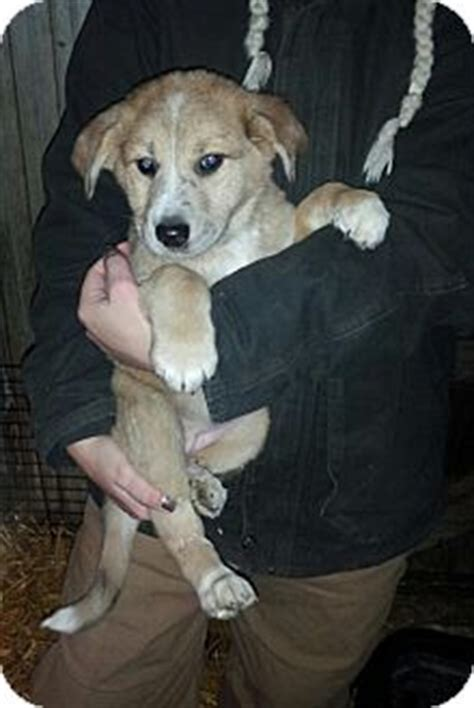 forever paws puppy rescue indiana denver in australian shepherd german shepherd mix meet aspin a puppy for