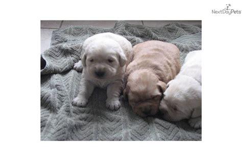 goldador puppies for sale creme goldador breeds picture