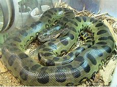 List of largest snakes - Wikipedia Range List Python