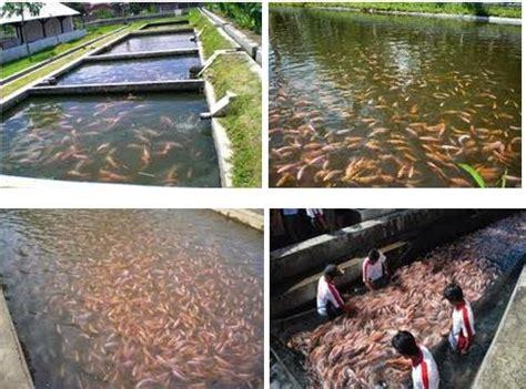 Peluang Usaha Budidaya Ikan Kembung tips praktis bagi anda peluang budidaya ikan nila modal kecil dapat untung besar