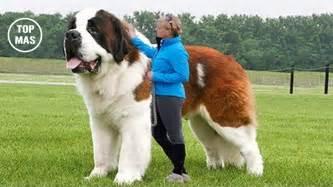 imagenes de animales jigantes 10 razas de perros m 225 s grandes del mundo youtube
