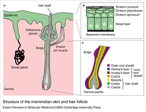 mammalian skin diagram 毛囊的再生能力詳解