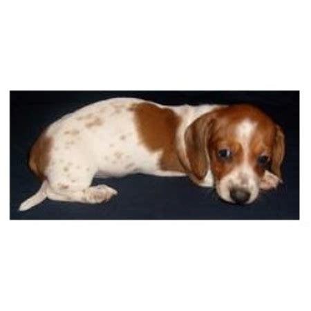 dachshund puppies arkansas dachshund doxie breeders in arkansas freedoglistings