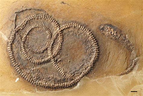amazing nesting doll fossil reveals bug in lizard in snake