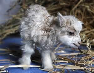 Pashmina Himalaya 1 scientists clone himalayan pashmina goat in a bid to keep up with demand daily