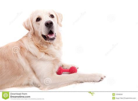 golden retriever up puppy stock photo up of a puppy with a sad
