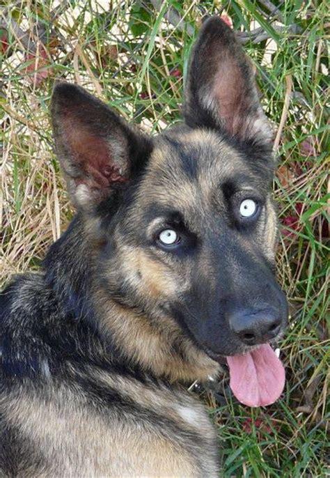 german shepherd puppies los angeles 211 best images about german shepherds rip levi on german shepherd names
