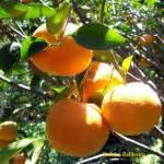 Pupuk Dolomit Untuk Jeruk cetak nangka ala thailand usaha agribisnis