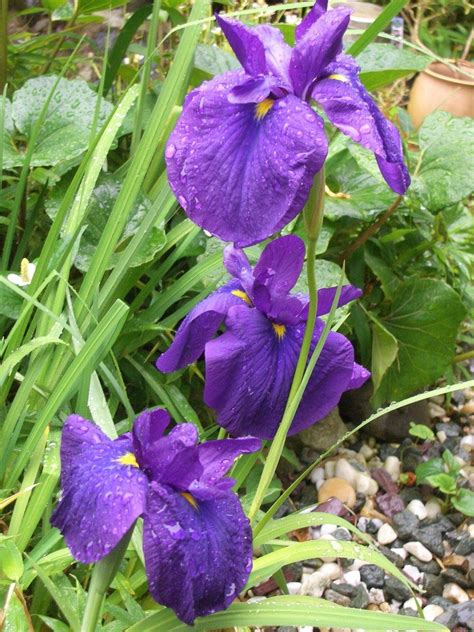 japanese iris care how and when to plant japanese irises