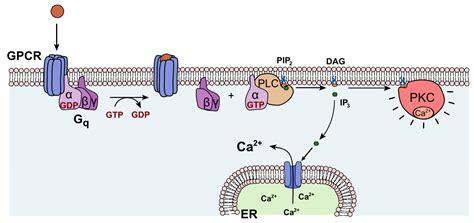 protein kinase a function urotensin ii receptor