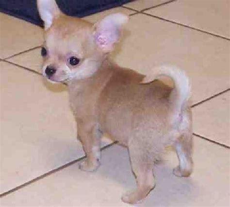 chihuahua puppies for adoption chihuahua puppies for free teacup chihuahua puppies for free adoption 1 jpg apple