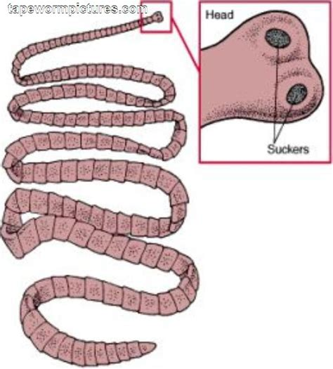 tapeworm treatment tapeworms treatment