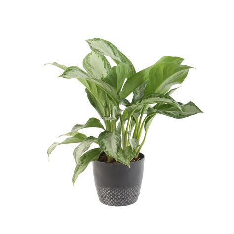 common house pot plants shop plants of steel 9 quart s evergreen potted l29hp at lowes