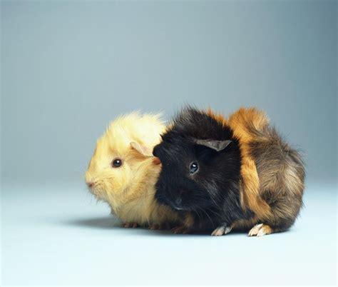 care  pet guinea pigs