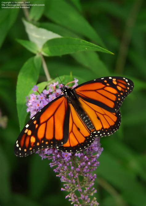 monarch butterfly got milkweed attracting monarch butterflies to your