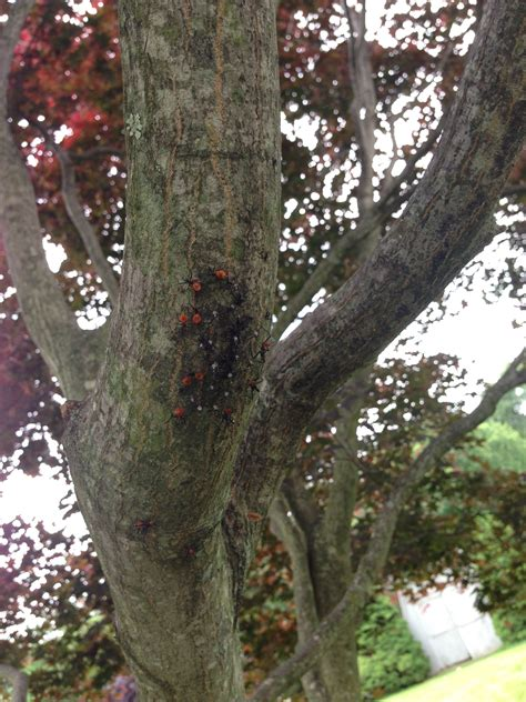 maple tree bugs what are these insects on my japanese maple tree ask an expert