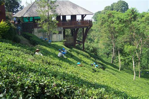 Teh Hijau Di Indonesia lokasi dan harga tiket masuk kebun teh wonosari lawang malang serunya ngeteh di padang hijau