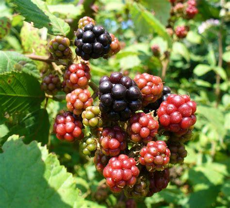 Blackbarry Jump Fruit file blackberry fruits 2008 g2 jpg wikimedia commons