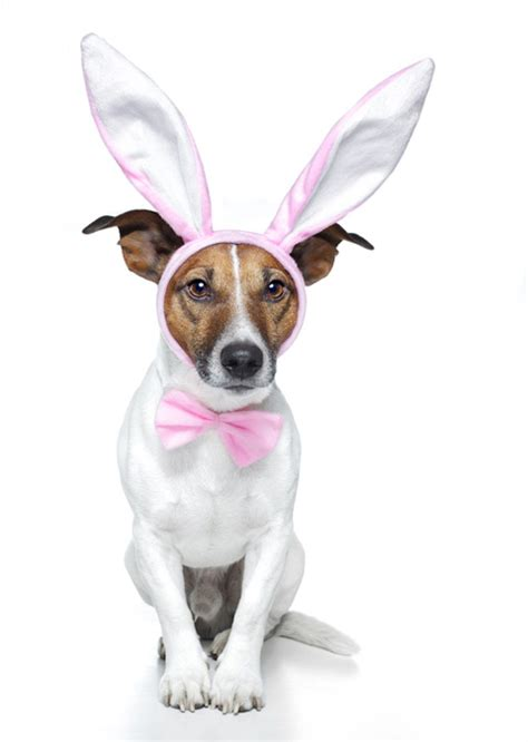 bunny ears for dogs bunny ears breeds picture