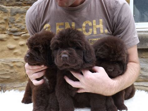 brown newfoundland puppies for sale kc registered brown newfoundland puppy northallerton pets4homes