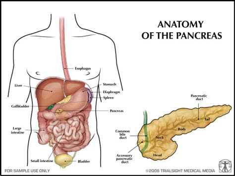 where is your pancreas located diagram human anatomy pancreas location human get free image