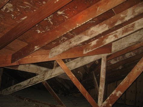 white mold in attic white mold removal white mold in