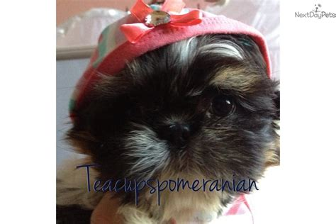 teacup shih tzu puppies for sale near me shih tzu puppy for sale near arizona 8846610f 2611
